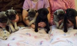 6 adorable pug puppies, 2 black 4 fawn.  Mother is Black Pug, Father is Fawn Pug.  Puppies are very playful, they are starting to nibble on puppy food, and we have started paper training them.  There are 5 Male, 2 Black, 3 Fawn $600 each, and 1 Fawn