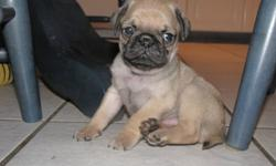 PUG PUPPIES for sale, these little cuties are healthy, happy, chubby and will be ready for their new homes in about 2 weeks. They all had  a vet check and their first shots and de-wormed. Born Aug. 27, 4 males and 1 female, all fawn