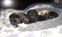 Adorable Pug Puppies, family raised. These sweet little ladies will come with vet check, first shots, dewormed and flea treatment. We have 4 females. 1 All black, 1 all black with tiny white diamond on chest, 1 fawn female with white stripe on her nose