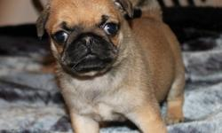 1 female, 1 male pug pups for sale. Not ready to go till October 20, 2011. Vet checked, vaccines, dewclaws removed and dewormed before leaving our home. These little babies have been handled from birth and are surrounded with love. Nonrefundable deposit