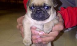 Three Purebred Female Pug puppies. Golden Brown. Born Oct 29th. Vet checked, first shots & dewormed. Cash Sale Please.