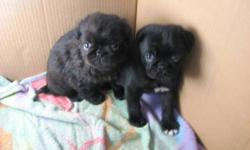 We have two male pug puppies for sale. They have their first shots and are ready to go. Please contact Kelly at 260-3276.