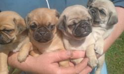 Adorable Pug puppies fawn in color forsale. A great dog for children pugs are extremely intelligent dogs easy to litter train and you can take them anywhere with you. Mom is 100% pug purebred Dad is 3/4 pug 1/4 Jack They have Vet papers and will go to new