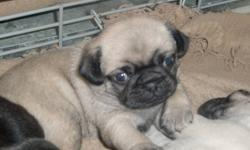 Purebred Pug Puppies ready to go for Christmas!!!  3 female fawn in colour.  Both parents onsite to see as well.  These little girls are raised in a family environment around kids and other pets.  They will join you in their forever homes complete with a