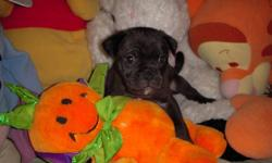 I have 2 Pug X puppies looking for there forever homes I will be coming in to edmonton this Weekend The 2 that are left are mostly black with tiny bits of white they are both males and very cuddly I have reduced the price from 500 to 200 because I just