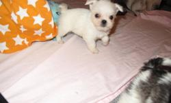 These little puppies have wonderful personalities and are well socialized.  Mom is a pug x shih tzu and dad is a pug x terrier, these little guys are absolutely adorable.  Please email for more information or to set up a time for a visit. Will hold with a