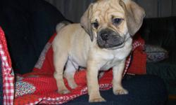 Beautiful tan colored puggle.Happy & cuddly      little fellow. Loves adults & kids - just wants      to please.             Has first shot, deworming, and training has been started!            Call 306-934-3940 Saskatoon.