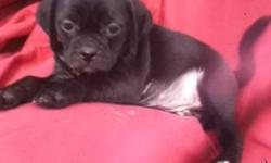 GORGEOUS MALE PUGGLE PUPPIES ARE 8 WEEKS OLD AND READY TO GO TO NEW HOMES NOW!! males in black or tan available. 1st puppy shots done. dew claws removed. dewormed several times. call 604-897-8954 or reply to this email.