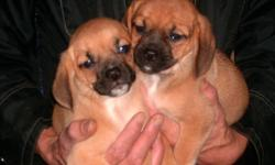 2 FEMALES  and 3 MALES,ready to go to new homes.They have been vet checked ,vaccinated ,dewormed and advantage treated.The dad is a pure fawn pug and the mom a 13 inch tri colored beagle.I am 1 hour from kingston,,,ph 613-926-2953