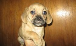 """Ready now. These are the true Puggle Puppies. 1st generation. Puggles are lovable, very sweet, social and good with people of all ages and other pets. Mom is a Pure small Beagle at only 10"""" & 15 lbs. and dad is a Pure Pug and is 11"""" & 16 lbs. Born Oct 1st"""