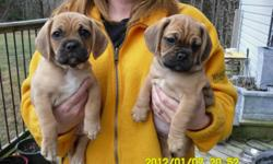 I have 2 puggle puppies for sale, two males. They were born on November 15th. They are eating on their own, walking, running and being playful pups. They are ready to go! If pictures are needed, they can be provided. The image size was too large to