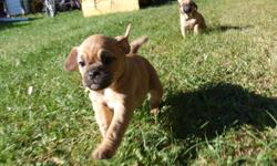 Adorable  First Generation Puggle pups for sale,   Hand raised very friendly, have great parents,  first Shots and Dewormed   call 403 843 3156    403 704 0024   or e mail mailto:kd5sons@telus.net