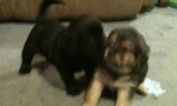 Two male puggle puppies. Are getting first shots Monday nov 28 and then ready to Go to a good home and welcoming family. They are very playful and adorable. Please contact Ashley by email or call/text 780-898-3880 This ad was posted with the Kijiji