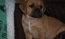 Beautiful   Brown puggle { first generation}  female pup for sale.  Ready to meet her family..  First Shots, dewormed , friendly ,  and playful..  Has great parents..  that are family dogs.  She has been raised with much love and attention..