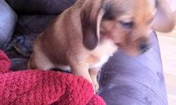 This puggle puppy is still availible the ad will remain active as long as the puppy is availible! 1 tan/brown puppy: male (First Picture - Will grow to look like the third pictured Puggle) We call him Rex, he's very sweet and attentive, good listening