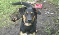 7 month old shepard-rottweiler spayed female. Needs country home so she can run and play. Lives in town now and is unhappy with it. Reba is very loyal, prefers women, and obedient. Good with children (bit too energetic for small children) and all animals.