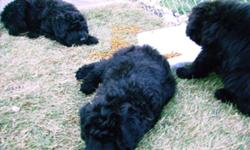 3 Adorable puppies,super loyal companions for work or home. Intelligent, easily trainable, low shedding perfect house companion. Ready to go! Reg. Bouvier. Ask for Joel.