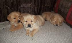 lab/pit cross (1/4 pit)   Ready for good responsible homes on january 20th First vaccinations/ vet check and de-wormed -6 females (1 black, 5 beige) -3 males (black)