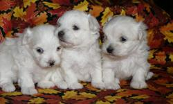 Ready Nov. 3, 2011.  Kennel trained, paper trained, vaccinations and vet. health check.  Both parents are Purebred Maltese and 6 -7 pounds. Puppies will come with their own small kennel and food. These puppies are raised in our home and are very social