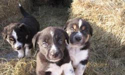 5 pups will be ready beginning of January.  4 males, 1 female.  Border Collie cross with Blue Heeler.  They are basically black with white markings, with two males having some brown.   one male sold already.   Puppies live outside and love running around