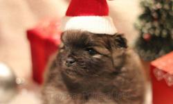 Season?s Greetings from TinyBear Pomeranians TinyBear Pomeranians is CKC Registered show breeder. We breed only from healthy, conforming and Champion lines. This is our passion! When we have met our needs, we may have puppies available from time-to-time.