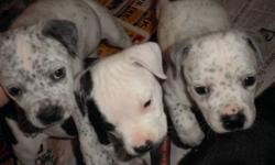 Beautiful family raised puppies to good long term homes,first shots,deworming,and vet check done.Looking for responsible owners for our furry friends.2 males which are black&white,and 3 females (two white ones with spots and one little brindle girl).