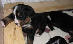 BERNESE Mountain pups for sale.  Ready to leave home come with full registration, first shots as well as dewclaws removed and first vet visit. Must be seen to fall in love.