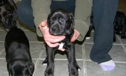 Mastiff/Boxer Crosses 3 Girls and 2 Boys left Ready to go now....first set of shots and dewormed already call 403 878 5189 or 403 487 0100 to view