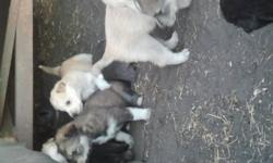 Puppies for sale. 70.00 each(obo).. ready to go in approx 3 weeks. Great x mas gift for the kids! E mail me for details.