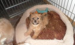Only 2 puppies left from a litter of six. 1 girl, 1 boy. They are a shi-tzu/terrier cross. They will be small/medium when fully grown. These sweeties are weaned n ready to go :)