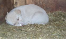 I have 4 tan puppies, unknown breed, Outdoor raised, All males, must go!!