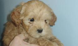 All Pups will be spayed/neutered, dewormed and have had their 1st vaccinations before going to their new homes   All Pups are READY TO GO   We have two different litters of puppies that need loving homes.   One litter is Maltese Cross. There is 1 white