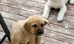 ready to go immediately,these puppies are playful, great with children, great guard dogs. all around fun outside dogs. call 381-7689