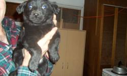 Collie and German shepherd mixed puppies for sale. They are 8 weeks old. Only asking fourty dollar's each. We only have males left. Ready to go to good homes. It is possible to deliver only to renfrew. Please call thanks.