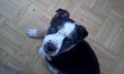 puppy for sale I am moving and I can`t take the puppy with me it breaks my heart that I have to let her go she is a very good dog love people and other animals she is 13 weeks old she have big blue eyes. husky mix with shepherd 647 458 08 94 We can also