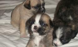 REAL NICE LITTLE GUYS/GIRLS READY DEC22 SHITZU MOM BOSTON PUG DAD ,BLACKS,BROWNS,TANS ALLWITH A BIT WHITE 12LBS WHEN GROWN I CAN BRING FOR SHOWING IN LONDON  $350.00 519 4533442