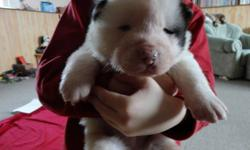 Here we have 6 Pure-Bred Akita Puppies. We have 2 females and 4 males. If interested contact ED at 204-332-0435 You can see pics of parents on our website http://www.boundarytrailkennels.ca Thanks