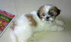 Pure bread Shih-Tzu puppies born Oct 22,11.1 female left Vet check,First Dewormed shot with vet record. 3.6lbs she is ready to go home. she is train to go out side for every 2 hrs for bathroom time. really playful. Father and mother are both pure bread
