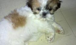 Pure bread Shih-Tzu puppies born Oct 22,11.1 female left Vet check,First Dewormed shot with vet record. 3.6lbs she is ready to go home. she train to go out side for every 2 hrs for bathroom time. really playful. Father and mother are both shih tzu home