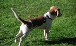 Pure bred Beagle Male  not fixed  1.5 years old  Blue Eyes  He will make an excellent hunting dog  He is very good with children  Looking for a loving home!!!!    Please call me for a meeting at 289-686-8045. No emails please.  Thank you.