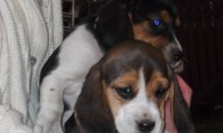 We have two pure-bred tri-colored female beagles for $350.00 and two pure-bred chocolate beagles for $425.00.  The mother is a pure-bred tri-colored beagle and the father is a standard pure-bred beagle.  I have uploaded pictures of the puppies as well as
