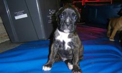 Home raised boxer pups for sale, CKC reg'd with petigree and a one year health guarantee. Three boys and one girl left, born September 14, 2011.  Tails and dew claws are done as well as 1st shots, dewormed and tattooed.   Mom's on site, the picture is of