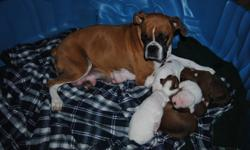 Pure Bred Boxer puppies for sale! Born Nov. 20th, these pups will be ready for their new home Jan 15th. 1 male, 3 females left from litter of 6. Their mother is a 5 yr. old AKC fawn. Father is 61/2 yr. old white and fawn. Both parents are healthy and can