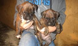 New Price before christmas... $700 ,8 beautiful brindle boxer pups!!!..They were born on the 27th of October... 6 females and 2 males.. First shots,dewormed and tails docked... Call : 705 888 1075 for more information or questions or email 1 Male and 1