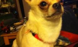 Chico is our chihuahua who is about nine months to a year old. He is very loving and playful . He is white and tan with dark brown eyes Chico is also a pure bred we got him for $ 500 so we are asking for $ 450 because we only got him a few months ago . We