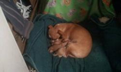 """PURE BRED """"CHIHUAHUA`S"""" They are dear head, mom and dad around 5 lb`s. Raised in a family home with 3 kids. There are 2 girls and a boy. They will be gone fast, so deposit will be required to hold your new loving little friend. Call 250-591-6161, ask for"""