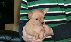 """""""PURE BRED CHIHUAHUA`S"""" ready to go today to there new loving homes, 2 girls and a boy, both parents around 5 lbs. They are puppy pad trained and have been on hard food for over aweek now. They are de-wormed and very healthy. I`ve bred boxers for almost"""