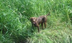 Pure bred black lab and chocolate lab free to good home.  Unforseen circumstances no longer allow us to give them an appropriate home.  Both have been under ground electric fence trained on an acre and a half lot.  Puppy stage is over and they are very