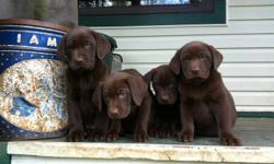 Pure Bred Chocolate Labs for sale - Shots taken October 29th - Dew Claws have been removed - 5 Boys / 5 Girls If you are wanting to make an inquiry, please contact Boyd or Lucy at 778-552-1248