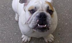 Pure bred english bulldog from victory bulldogs ( top breeder in canada ) paid 3000 want 1500 he is a real British Bulldog pure bred from top breeder Victory Bulldogs he is not fixed , he is microchiped and tattood and has all his papers.... Very friendly